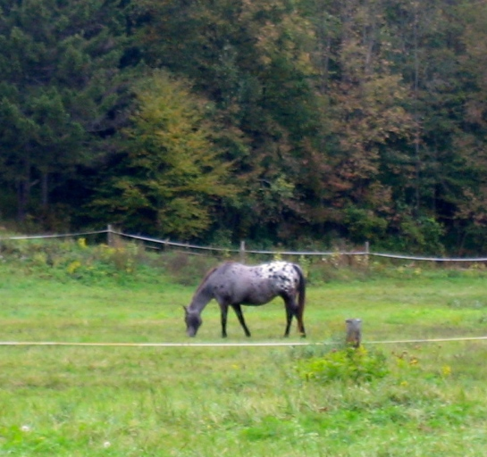 Appaloosa in the Green Mountains