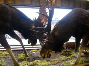 battling moose at LL Bean world headquarters