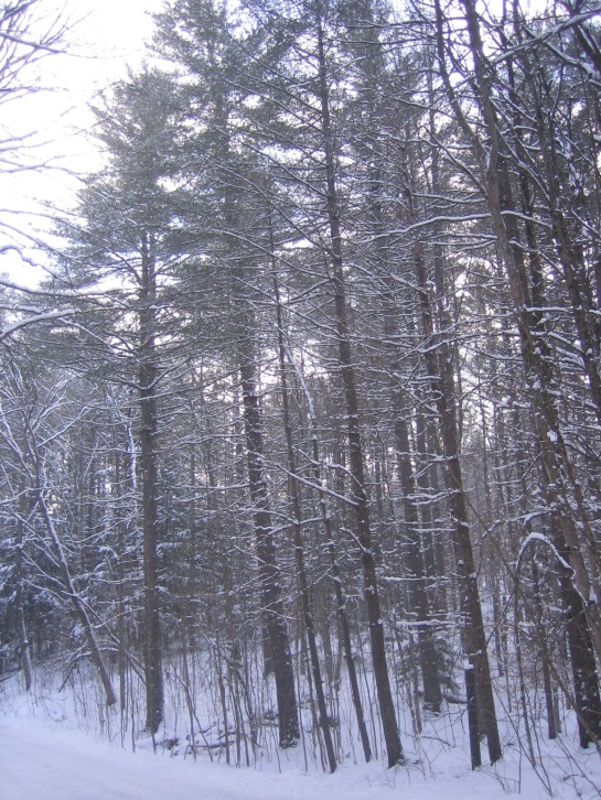 tall snowy trees