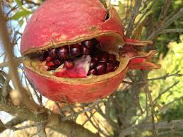 some say it was a Pomegranate, not an Apple